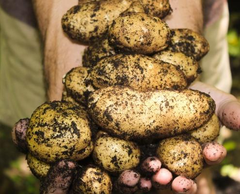 En hand som håller i flera jordiga potatisar.